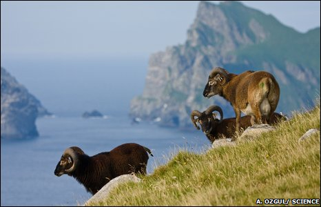 I'm baaaaaaaaaaad at thinking of image captions. Soay sheep, picture courtesy of BBC / Arpat Ozgul.